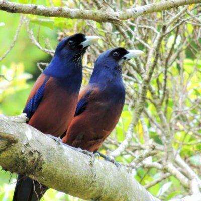 奄美自然観察の森 奄美大島観光タクシー ルリカケス写真